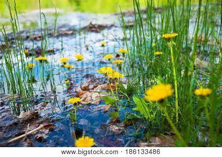 Yellow Dandelions In Water.