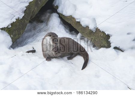 European Otter (Lutra lutra) playing in Snow