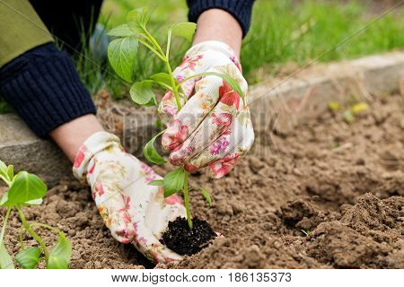 Seedling a plant in hands of the person. The green young plant of people holds in hand before landing to the soil. The gardener's hands in gloves and seedling sapling close up