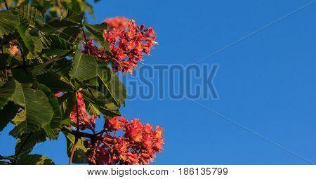 Red horse-chestnut, Aesculus carnea, hybrid Aesculus hippocastanum,