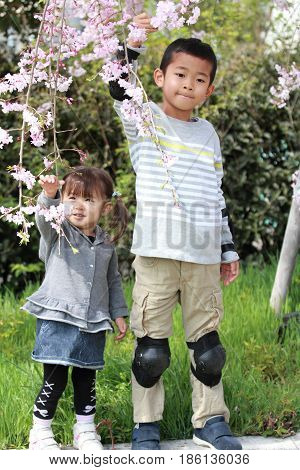 Japanese Brother And Sister (7 Years Old Boy And 2 Years Old Girl) And Cherry Blossoms