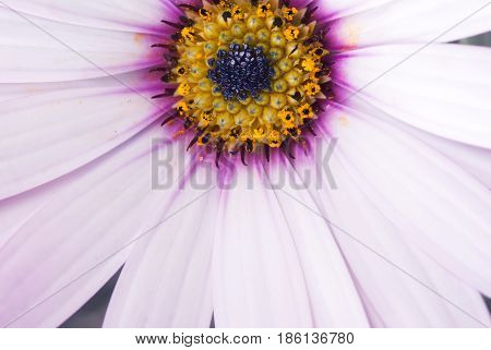 Close up of white osteospermum with dark pink lilac and yellow colors in the middle selective focus