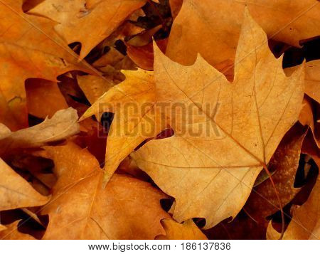 Maple leaves. Fallen brown leaves. Seasonal concept. Autumn season. Fall is coming. Bunch of dry leaves