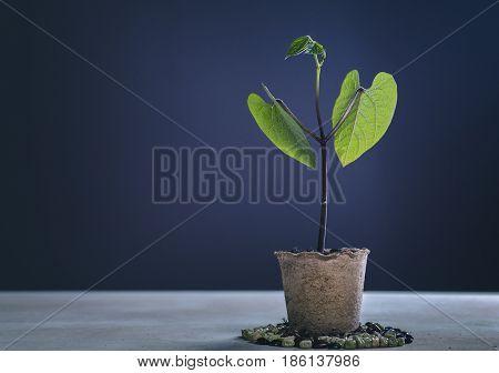 Bean Seedling in Fibre Pot Against Dark Blue Background