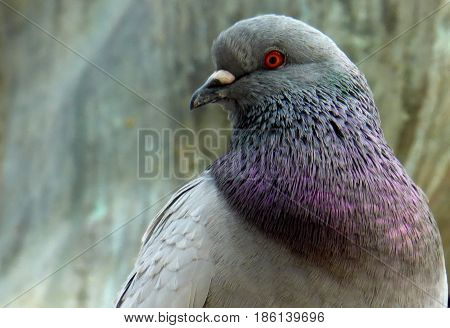 Foreground of a pigeon. Dove close up. Urban bird grey colored. Its neck has a purple and light-blue gradient colors. Feral pigeon