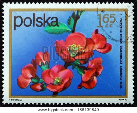 POLAND - CIRCA 1972: a stamp printed in Poland shows Chinese Quince Pseudocydonia Sinensis Semi-evergreen Tree circa 1972