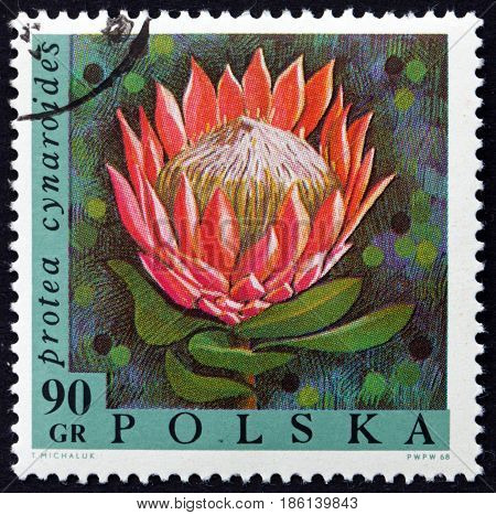 POLAND - CIRCA 1968: a stamp printed in Poland shows the King Protea Protea Cynaroides Flowering Plant circa 1968