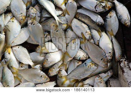 A lot of freshly caught silver colored fish with yellow tale placed and gathered in fishing boat.