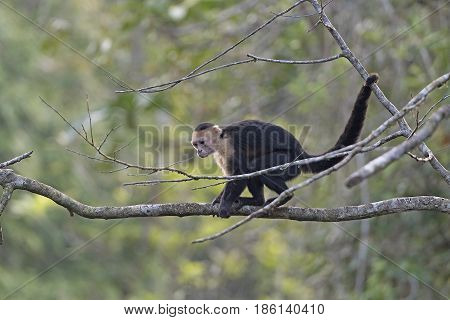 White Faced Monkey Looking for Food in Tortuguero National Park in Costa Rica