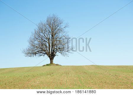 Big Lonely tree at field. Huge tree in the middle of a field.
