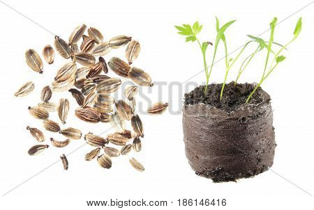 Seeds and seedling of lovage (Levisticum officinale) isolated on white background