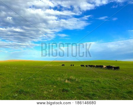 Cattle grazing on green grass under white puffy clouds, and a big blue sky.
