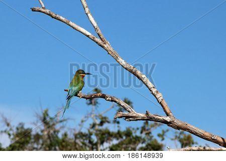 Asian bee-eater at Sri Lanka's Yala National Park