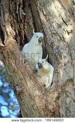 A pair of Australian Sulfur-crested Cockatoos, Cacatua galerita, perched in a hollow in a Broad Leaved Paperbark tree, Melaleuca quinquenervia, in Centennial Park, Sydney, Australia.