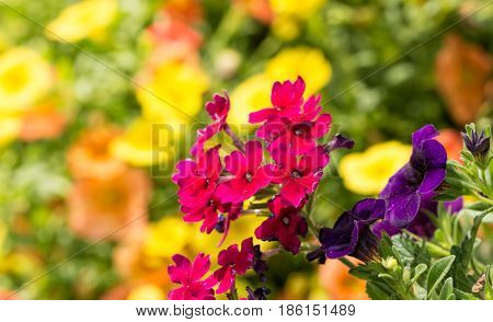 Fuchsia colored Verbena flowers against bright yellow and orange blooms on background