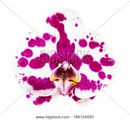 White-purple phalaenopsis orchid isolated on white background