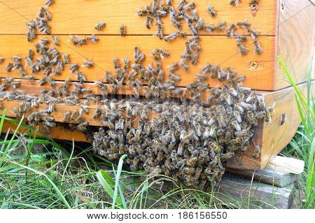Langstroth beehive inlet with bees cluster near the ground