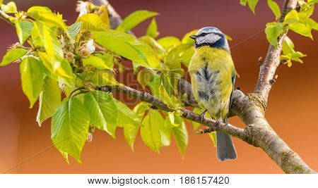 Single Colorful Blue Tit Bird On Cherry Tree
