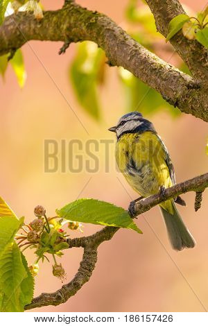 Single Colorful Blue Tit Bird On Cherry Tree Branch
