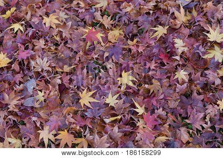 Purple dry maple leaf fallen on ground nautral landscape background