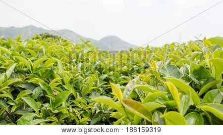 freash tea leaves in the mountain of china