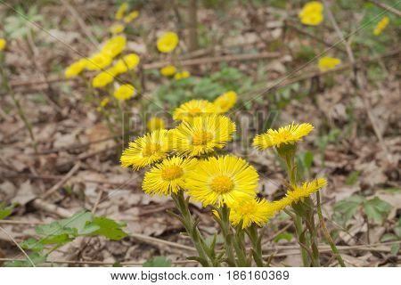 Flowers Of Coltsfoot On Leafless Stalk. Yellow Spring Primroses