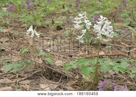 White Flowers Corydalis Dense On The Meadow Among The Pink Fumewort. Three Plants