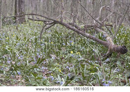 Forest Glade With Spring Young And Picturesque Fallen Branch