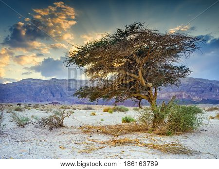 Lonely acacia tree in geological park Timna, Israel