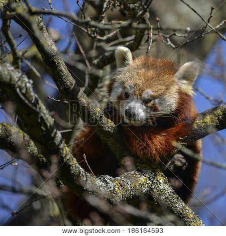 Beautiful Vibrant Red Panda Bear In Tree Trying To Sleep Ailurus Fulgens