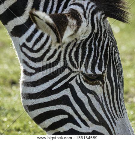 Lovely Grevy's Zebra Equus Grevyi Grazing In Lush Green Clearing