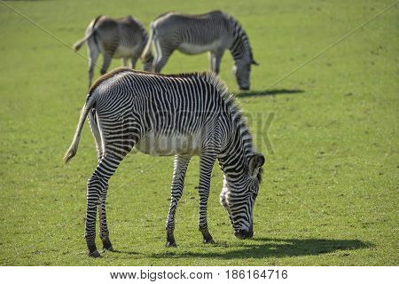 Lovely Grevy's Zebra Equus Grevyi Grazing In Lush Green Clearing