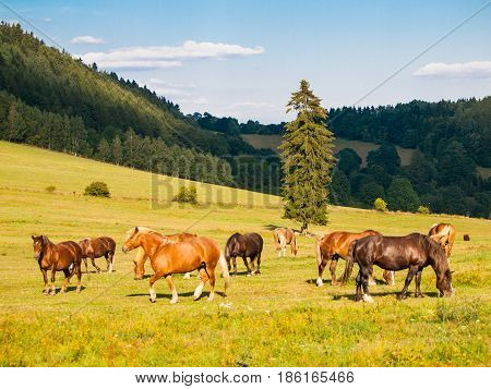 Herd of grazing horses on the pasture in sunny summer evening. Horse farm in the mountains.