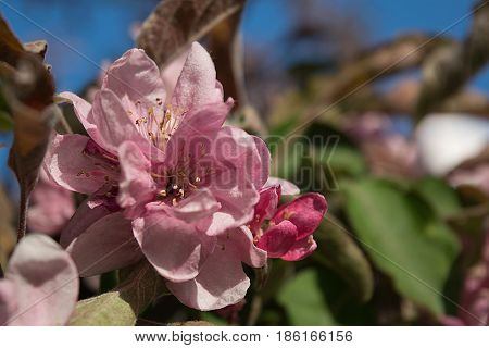 Bright pink saturated apple blossoms in spring close-up Against the blue sky