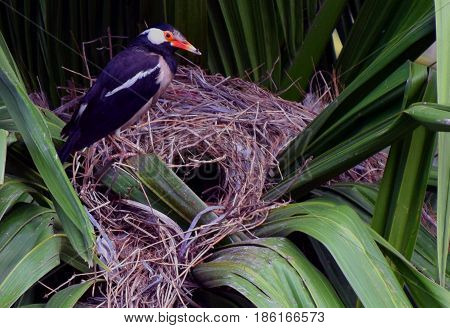 Asian Pied Starlings or Pied Mynas and Nest at the Kaziranga National Park Assam India