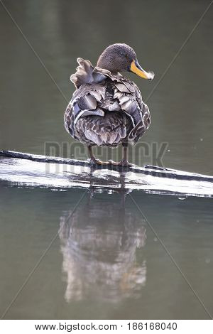 Yellow billed duck swim on a pond of blue water
