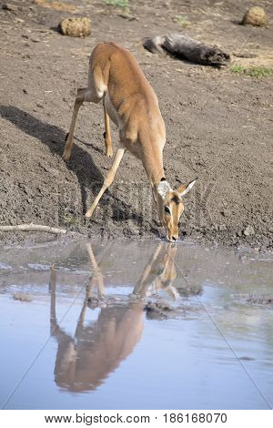 Female impala drinking water at a pond in the late afternoon
