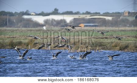 Large Flock Of Greylag Goose In Clear Winter Sky