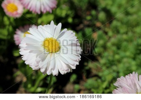 beautiful flower Astra white pink on blurred background