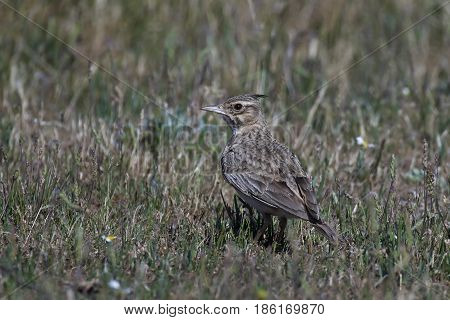 Crested lark standing on the ground in its natural habitat