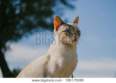 European cat portrait. Portrait of beautiful cat. Cute three color cat. European short haired cat.