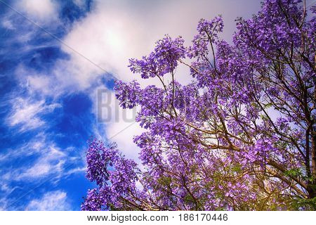 blooming jacaranda in the background of blue sky