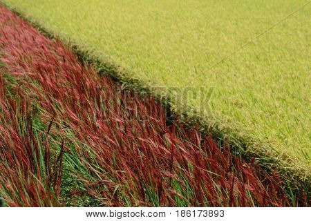 japan full grown red rice and rice