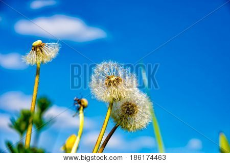 The little Puff flower in the spring time