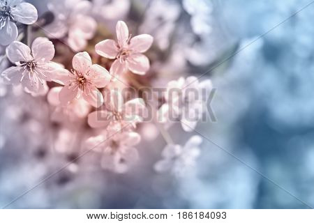 White tender cherry flowers blossom on a toned in soft blue and pink blurred background close-up macro . Spring or summer border. floral background with copy space. soft focus.