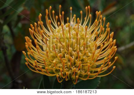 Garden with a blooming golden yellow protea flower blossom.