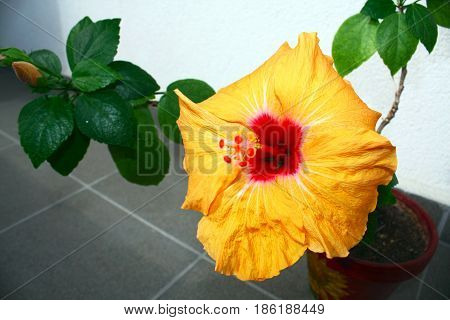 Flowering Chinese rose grown in the interior, yellow color