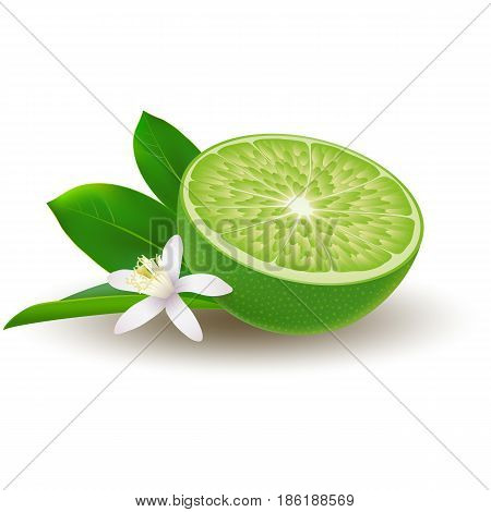 Isolated colored half of juicy green lime with white flower green leaf and shadow on white background. Realistic