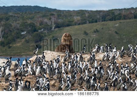 Colony Of King Cormorants And Sea Lion, Beagle Channel, Patagonia