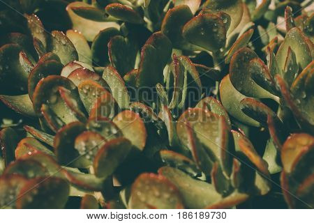 Succulents background. Texture of green wet succulents. Leaves texture & background. Macro view of green wet succulents. Abstract texture & background for designers. Organic texture. Natural pattern.